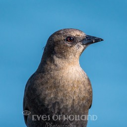 brewer blackbird female (4 van 5)